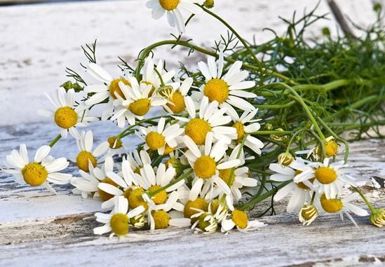 cultivo de manzanilla en casa