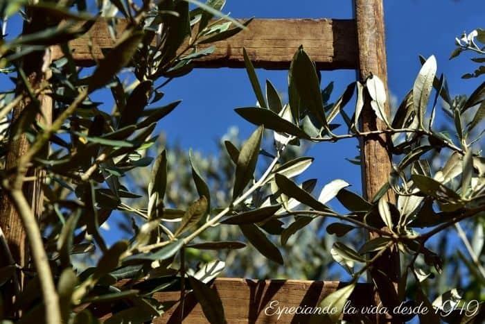 olivo natural